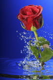 Underwater red rose. Underwater red rose surrounded by bubbles Royalty Free Stock Photos