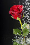 Underwater red rose. Underwater red rose surrounded by bubbles on the black background Royalty Free Stock Images