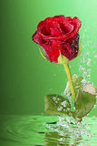 Underwater red rose,. Underwater red rose surrounded by bubbles on the green background Stock Photos