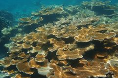 Underwater reef with Elkhorn corals. Key largo, Florida, USA stock images