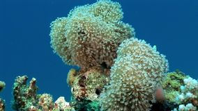 Underwater relax video about coral reef of Red sea. Bright marine nature stock video