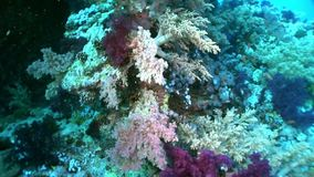 Underwater relax video about coral reef of Red sea. Bright orange marine nature on background of beautiful lagoon stock video