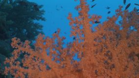 Underwater relax video about coral reef of Red sea. Bright orange marine nature on background of beautiful lagoon stock video footage