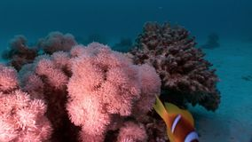 Underwater relax video about coral reef of Red sea. Bright marine nature on background of beautiful lagoon stock footage