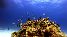 Underwater relax video about coral reef of Red sea. Bright marine nature on background of beautiful lagoon stock video