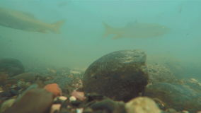 Underwater river flow with fish swims and particles and rocks on the surface.  stock video