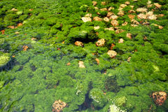 Underwater river's plants Royalty Free Stock Photography