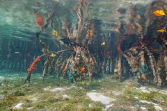 Underwater roots of mangrove tree Caribbean sea Stock Image