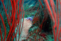 Underwater roxo 2 de Nudibranch Hypselodoris fotografia de stock
