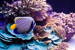 Underwater scene. Underwater background - fishes and coral Stock Photo
