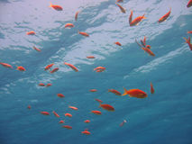 Underwater Scene. With scalefin Anthias Royalty Free Stock Images