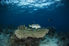 Underwater Scene with blue background. At Malaysia Celebes Sea stock image