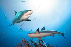 Caribbean reef sharks.