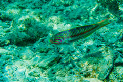 Underwater scene with coral reef and fish photographed in shallow water, Red Sea, Egypt Royalty Free Stock Photography