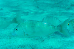 Underwater scene with coral reef and fish photographed in shallow water, Red Sea, Egypt Stock Photo