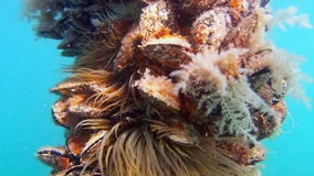 Underwater scene with oysters and anemones stock footage