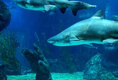 Underwater Scene of Sand Tiger Shark in Aquarium. Underwater Scene of Huge Sand Tiger Shark in Aquarium Royalty Free Stock Images