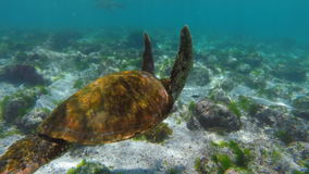Underwater scene with sea turtle swimming. Underwater shot of wild galapagos sea turtle swimming in shallow rock reef with fish. Full hd slow motion footage stock footage