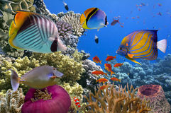 Underwater scene, showing different colorful fishes swimming Royalty Free Stock Image