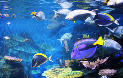 Underwater scene with tropical fish Royalty Free Stock Photo