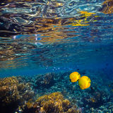 Underwater scene with yellow fish and water surface. Coral shallow with glossy water surface and yellow fish stock image