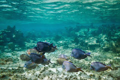 Underwater scenery of Caribbean Sea. A shoal of blue fishes in Caribbean Sea, Mexico Royalty Free Stock Photography