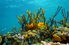 Underwater scenery colorful marine life coral reef. Underwater scenery with colorful marine life in a coral reef of the Caribbean sea, Mexico Stock Images