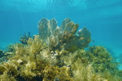 Underwater scenery in a coral reef with gorgonian Stock Photo