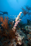 Underwater scenery and a diver in the Red Sea. Stock Image