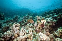 Underwater scenery in the Red Sea. Royalty Free Stock Photography