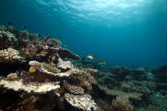 Underwater scenery in the Red Sea. Stock Photography