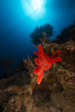 Underwater scenery of  the Red Sea. Royalty Free Stock Photography