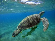 Underwater scenery with sea turtle in blue water Stock Photo