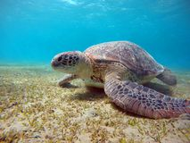 Underwater scenery with sea turtle in blue water Stock Photos