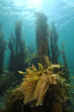 Underwater scenery in temperate sea Royalty Free Stock Images