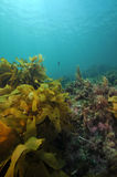Underwater scenery in temperate sea Royalty Free Stock Photo