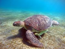 Underwater scenery with sea turtle in blue water Royalty Free Stock Image