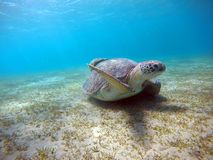 Underwater scenery with sea turtle in blue water Stock Image
