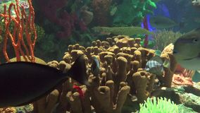 Underwater scenes of the coral reef. Featuring a great variety of species,animals and multicolor plants stock footage