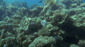 Underwater scenic view of fishes on coral reef. Slow motion undersea shot of different fishes swimming on big coral reef stock footage