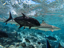 Underwater sea creatures sharks and fishes in Tahiti Stock Photo