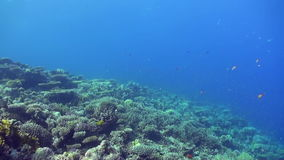 Underwater sea landscape of tropical coral reef. Underwater shot of teaming hard tropical coral reef top in Red Sea and floating around small colorful fish stock footage
