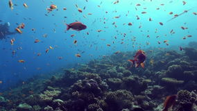 Underwater sea landscape of tropical coral reef. Underwater shot of teaming hard tropical coral reef top in Red Sea and floating around small colorful fish stock video