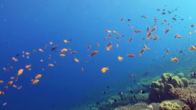 Underwater sea landscape of tropical coral reef. Underwater shot of teaming hard tropical coral reef top in Red Sea and floating around small colorful fish stock video footage
