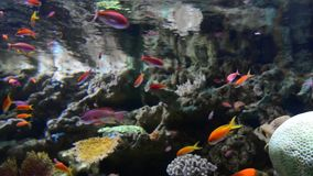 Underwater sea life. Sea life swimming along with the currents. Surrounded by corral and rocks stock video