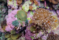 Underwater sea and ocean wildlife coral reef and fish. Percula Clownfish Amphiprion ocellaris Stock Images