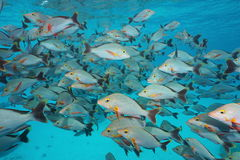 Underwater sea shoal of fish humpback red snapper Royalty Free Stock Photos