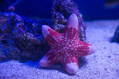 Underwater sea star Royalty Free Stock Photography