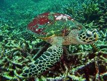 Underwater Sea Turtle Stock Photo