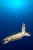 Underwater Sea Turtle Royalty Free Stock Photo